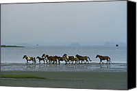 Strength Canvas Prints - Wild Chincoteague Ponies Run Canvas Print by Medford Taylor
