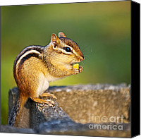 Nuts Canvas Prints - Wild chipmunk  Canvas Print by Elena Elisseeva
