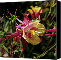 Photographic Art Print Canvas Prints - Wild Columbine Canvas Print by Rona Black