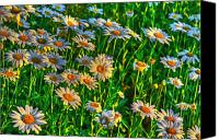 Wild-flower Canvas Prints - Wild Daisy Canvas Print by Robert Pearson