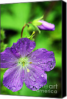 Wild Geranium Canvas Prints - Wild Geranium and Raindrops Canvas Print by Thomas R Fletcher