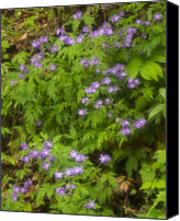Wild Geranium Canvas Prints - Wild Geranium, (geranium Maculatum) In Spring Canvas Print by Jerry Whaley