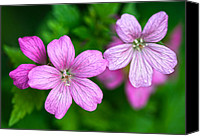 Wild Geranium Canvas Prints - Wild Geranium Canvas Print by Steven Poulton