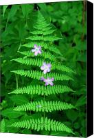 Wild Geranium Canvas Prints - Wild Geranium through Fern Canvas Print by Alan Lenk