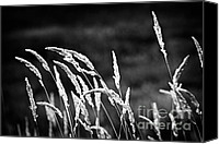 Grasses Canvas Prints - Wild grass in black and white Canvas Print by Elena Elisseeva