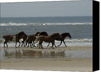 Assateague Canvas Prints - Wild  Horses Run On The Beach Canvas Print by Stacy Gold