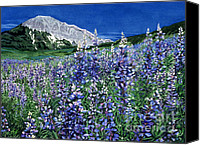 Blue Flowers Painting Canvas Prints - Wild Lupine Canvas Print by Barbara Jewell