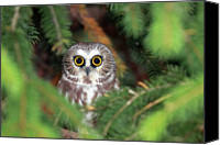 Pine Canvas Prints - Wild Northern Saw-whet Owl Canvas Print by Mlorenzphotography