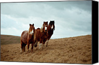 Wales Canvas Prints - Wild Ponies In Welsh Countryside Canvas Print by Polly Thomas