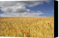 Cultivation Canvas Prints - Wild Poppies In Wheat Field, North Canvas Print by John Short