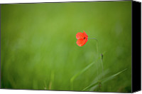 Solitude Canvas Prints - Wild Poppy Canvas Print by Peter Chadwick LRPS