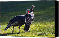 Turkey Photo Canvas Prints - Wild Turkeys Canvas Print by Mike  Dawson