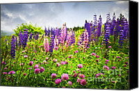 Lupine Canvas Prints - Wildflowers in Newfoundland Canvas Print by Elena Elisseeva
