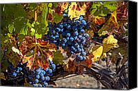 Napa Valley Canvas Prints - Wine grapes Napa Valley Canvas Print by Garry Gay