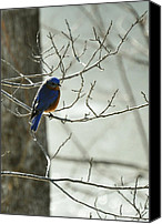 Good Luck Photo Canvas Prints - Winter Bluebird Canvas Print by Rebecca Sherman