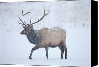 Elk Canvas Prints - Winter Bull Canvas Print by Mike  Dawson