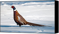 Colorful Feathers Photo Canvas Prints - Winter Pheasant. Canvas Print by Kelly Nelson