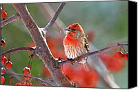 Finches Canvas Prints - Winter Red Canvas Print by Betty LaRue