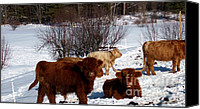 Winter Prints Pyrography Canvas Prints - Winter Steer  Canvas Print by The Kepharts