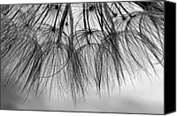 Tragopogon Dubius Scop Canvas Prints - Wispy One monochrome Canvas Print by Steve Harrington