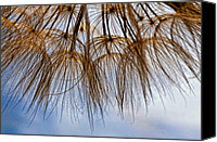 Tragopogon Dubius Scop Canvas Prints - Wispy One Canvas Print by Steve Harrington