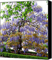 Parcs Canvas Prints - Wisteria Beauty Canvas Print by Valia Bradshaw