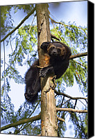 Captive Canvas Prints - Wolverine Gulo Gulo Resting In Tree Canvas Print by Konrad Wothe