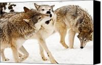 Friends Canvas Prints - Wolves at play Canvas Print by Melody and Michael Watson