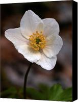 Thimbleweed Canvas Prints - Wood anemone 1 Canvas Print by Jouko Lehto