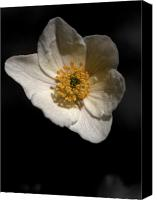 Thimbleweed Canvas Prints - Wood anemone 2 Canvas Print by Jouko Lehto