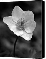 Thimbleweed Canvas Prints - Wood anemone 6 Canvas Print by Jouko Lehto