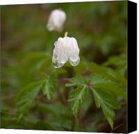 Thimbleweed Canvas Prints - Wood Anemone Heavy From The Rain Canvas Print by Jouko Lehto