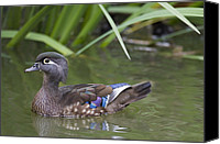 Female Wood Duck Canvas Prints - Wood Duck Female Santa Cruz Monterey Canvas Print by Sebastian Kennerknecht