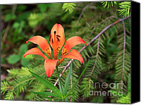 Wild-flower Canvas Prints - Wood lily also called Prairie lily or Western Red lily Canvas Print by Louise Heusinkveld
