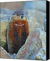 Groundhog Canvas Prints - Woodchuck Canvas Print by Tony Beck