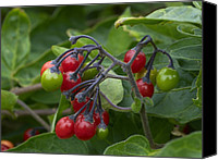 Bittersweet Canvas Prints - Woody Nightshade (solanum Dulcamara) Canvas Print by Adrian Bicker