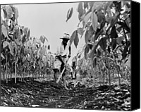 Cultivation Canvas Prints - Worker Removing Weeds With A Hoe Canvas Print by Everett