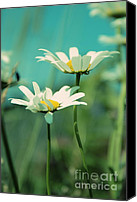 Daisies Flowers Canvas Prints - Xposed - s07b Canvas Print by Variance Collections