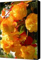 Begonia Canvas Prints - Yellow Begonia Flowers.  Victoria Canvas Print by Darlyne A. Murawski