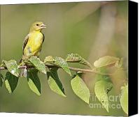 Wildlife Pyrography Canvas Prints - Yellow-bellied Flycatcher Canvas Print by David Cutts