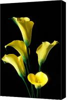 Decorate Canvas Prints - Yellow calla lilies  Canvas Print by Garry Gay