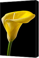 Callas Canvas Prints - Yellow Calla Lily Canvas Print by Garry Gay