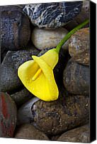 Callas Canvas Prints - Yellow Calla Lily On Rocks Canvas Print by Garry Gay