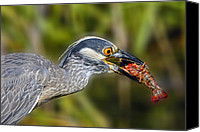 Crawfish Canvas Prints - Yellow Crowned Night Heron Goes Crawfishing Canvas Print by Bonnie Barry