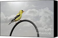 Damp Canvas Prints - Yellow Finch a bright spot of color Canvas Print by Christine Till