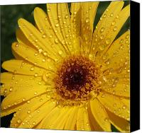 Floral Giclee Canvas Prints - Yellow Gerbera Canvas Print by Suzanne Gaff