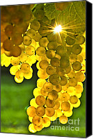 Winery Canvas Prints - Yellow grapes Canvas Print by Elena Elisseeva