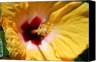 Yellow Canvas Prints - Yellow Hibiscus Canvas Print by Kimberly Gonzales