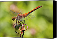 Meadowhawk Canvas Prints - Yellow-Legged Meadowhawk  Canvas Print by Juergen Roth
