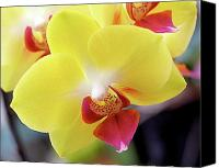 Yellow Photo Canvas Prints - Yellow Phalaenopsis Orchids Canvas Print by Rona Black